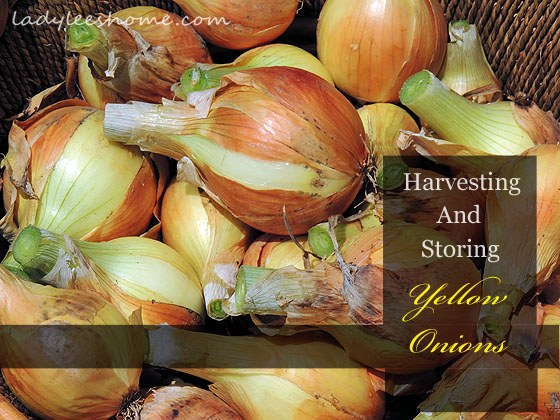 harvesting-and-storing-onions-01