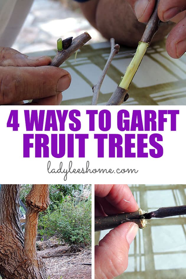 Four examples of techniques for grafting fruit trees. There are a few ways to graft fruit trees. In this post, you'll learn four different ways to graft.