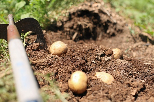 Everything you need to know about how to grow potatoes. How to plant potatoes,care for your potato plants, harvest, and store your crop for a long time. #LadyLee'sHome