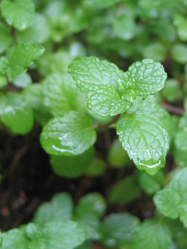 Indoor-Herb-Garden-Mint
