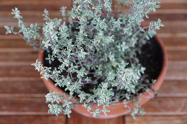 Indoor Herb Garden Winter 8 herbs for your indoor herb garden lady lees home indoor herb garden thyme workwithnaturefo