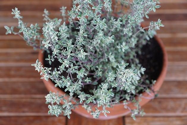 Indoor-Herb-Garden-Thyme