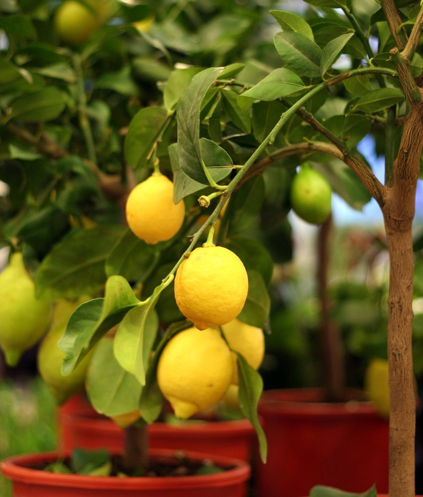 Dwarf Fruit Trees for Any Size Homestead