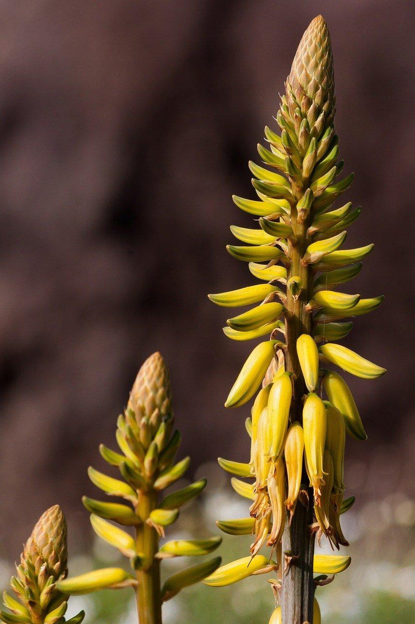 Aloe vera flower.