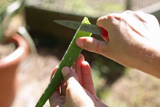 Peeling an aloe vera leaf.