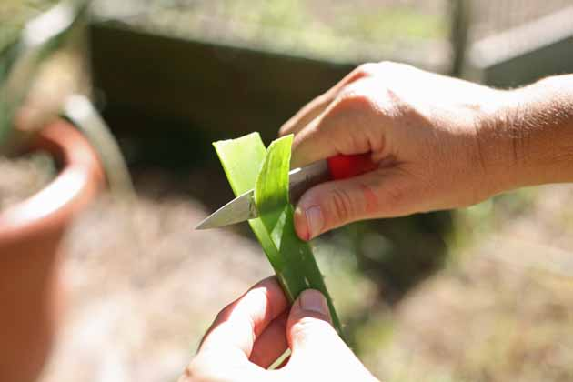 In this post, we will go over everything we need to know about Aloe Vera plant care and uses. We'll talk about where you can get aloe vera, how to plant aloe vera, how to care for aloe vera, how to harvest aloe vera, and how to use it. #aloevera #aloeveraplantcareanduses #growingaloevera #aloeverauses #gardening #medicinalplants #garden #organicgardening #homesteading #homestead #ladyleeshome