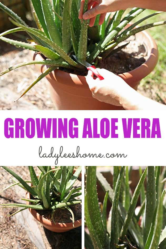 Everyone should be growing aloe vera in their house or garden! It's so easy to take care of this plant and it has so many uses. Let's learn how to grow aloe vera... #aloevera #aloeveraplantcare #aloeveraplant #growingaloevera