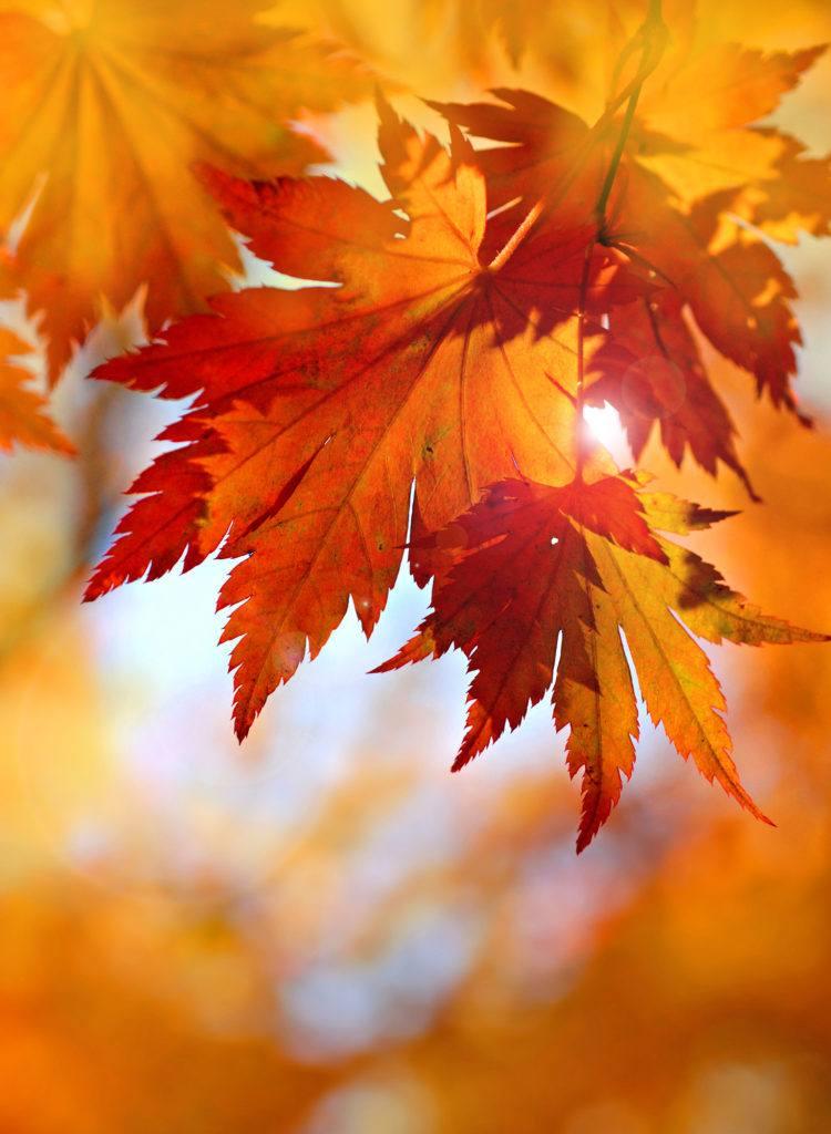 Dry orange leaves.