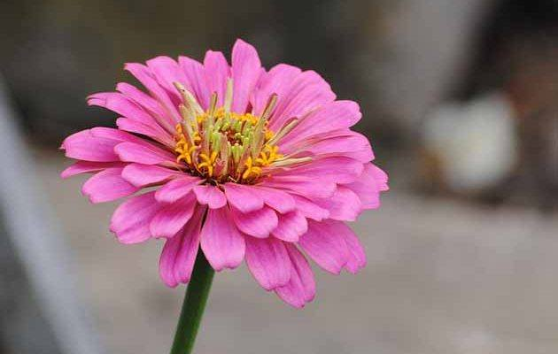 How to Grow Zinnias for Your Bees