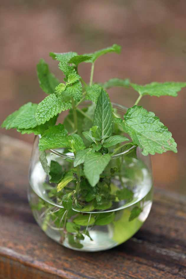 Mint cuttings rooting in a glass of water