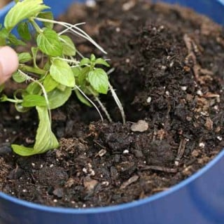 How to Grow a Mint Plant From Cuttings