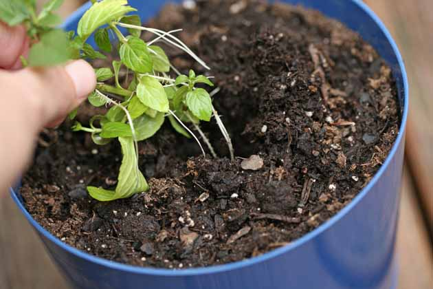 Planting mint in container.