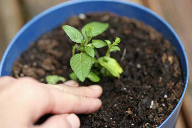 Mint plant in a pot. How to mint from cuttings.