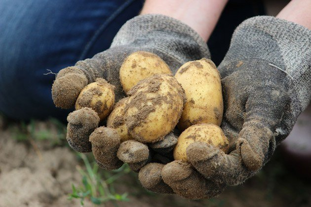 Hands holding potatoes.