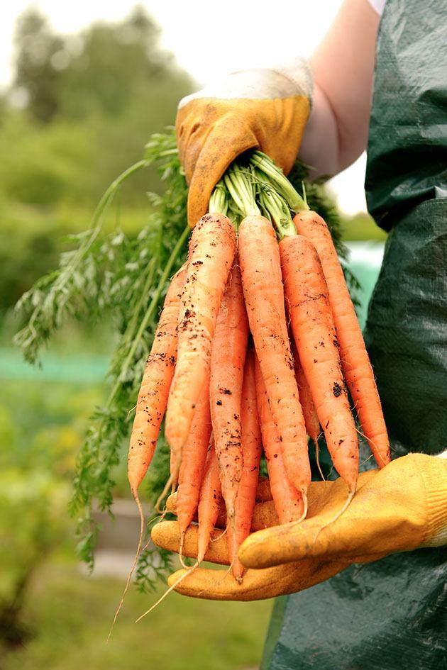 A gardener holding carrots.