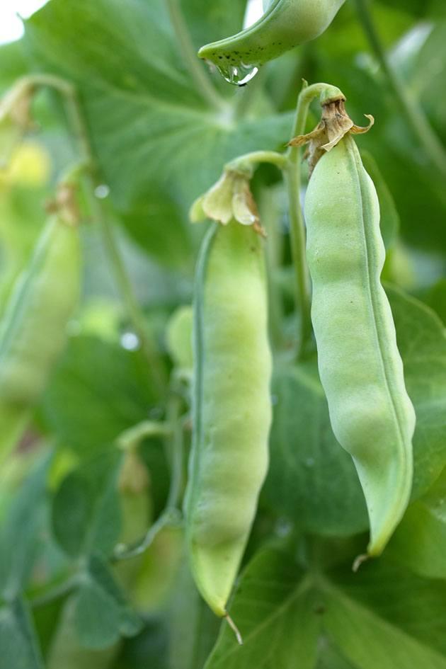 Peas on the vine.