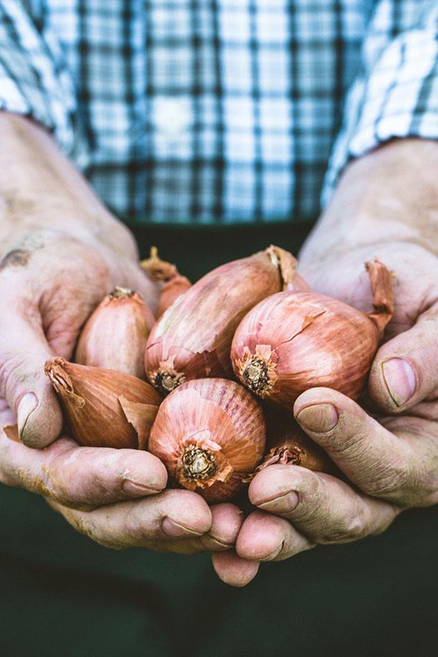 Hands holding shallots.