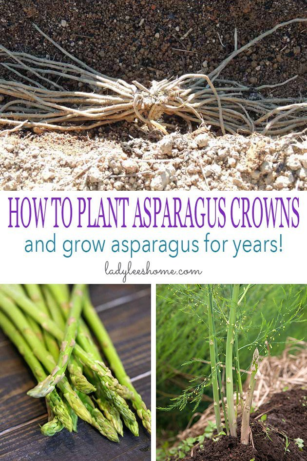 This is a step-by-step picture tutorial on how to plant asparagus crowns and grow asparagus for years. We'll go over how to plant asparagus crowns, how to care for your asparagus plants, and how to harvest asparagus. #howtoplantasparaguscrowns #howtogrowasparagus #organicgardening #vegetablegardening #howtoplantasparagus
