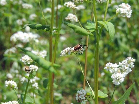 Pollinator on buckwheat
