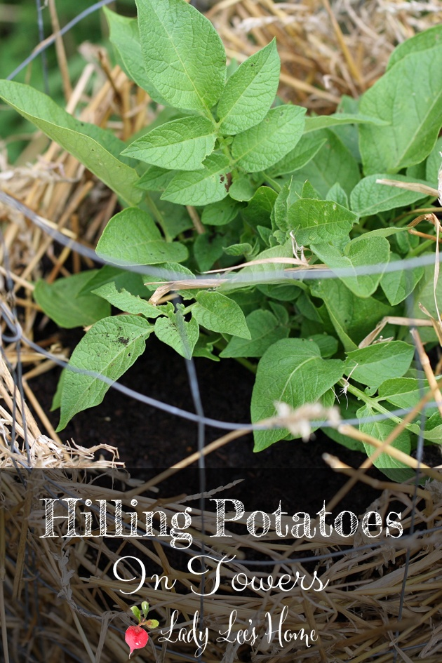 It was an easy project to build our potato towers and now that the potatoes are growing it is time to hill them. Here is how to hill potatoes in towers. #LadyLee'sHome