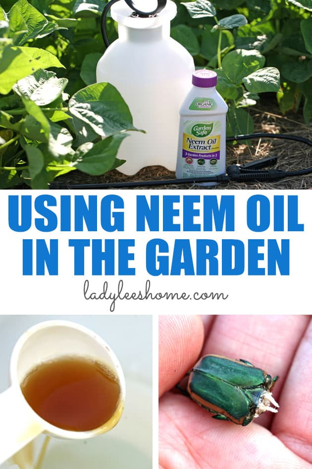 Neem oil is an organic pesticide that is safe for pollinators and plants yet can help you control insects, pests, and fungi in your garden. In this post, you'll learn how to use neem oil on plants.   #neemoil #neemoilingarden