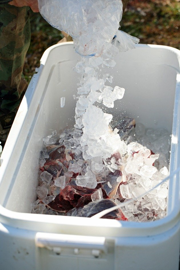 Adding ice to cooler with deer meat.