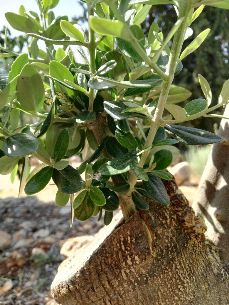 Olive tree six month after grafting.
