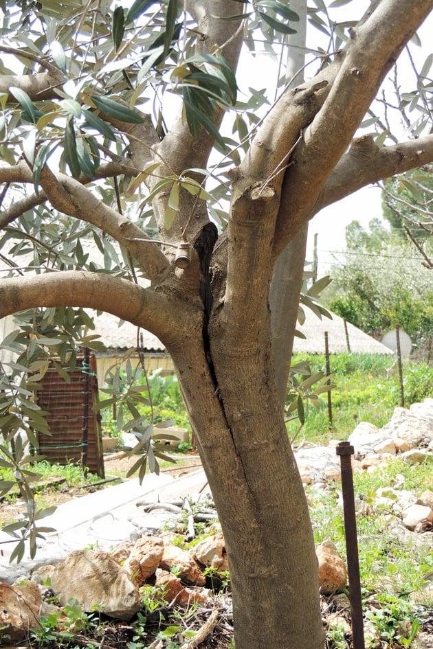 A split tree.