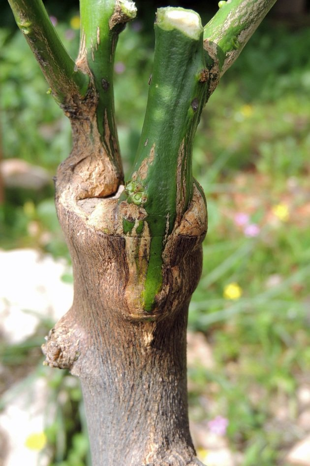 A grafted branch.
