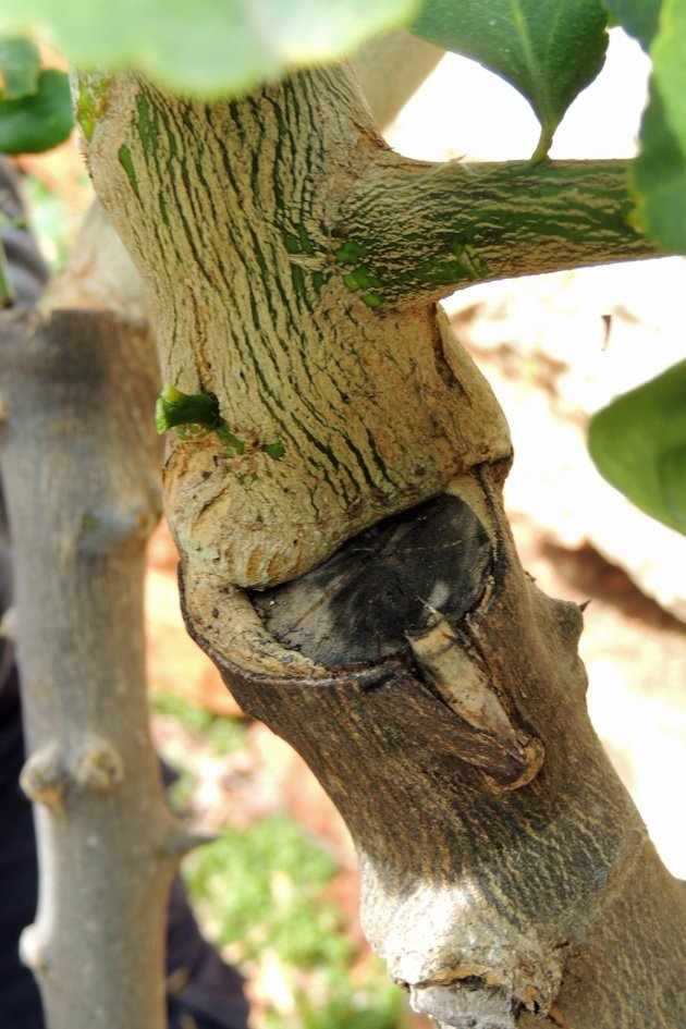 How a grafted branch looks like.
