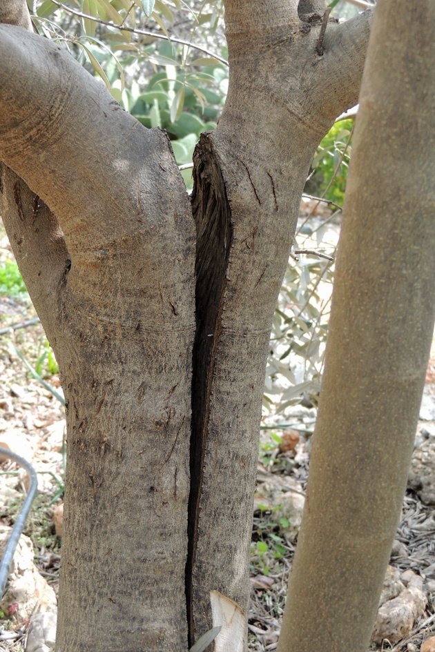 A close up of the split tree.