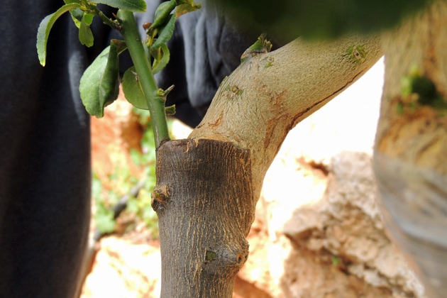 Another grafted branch.