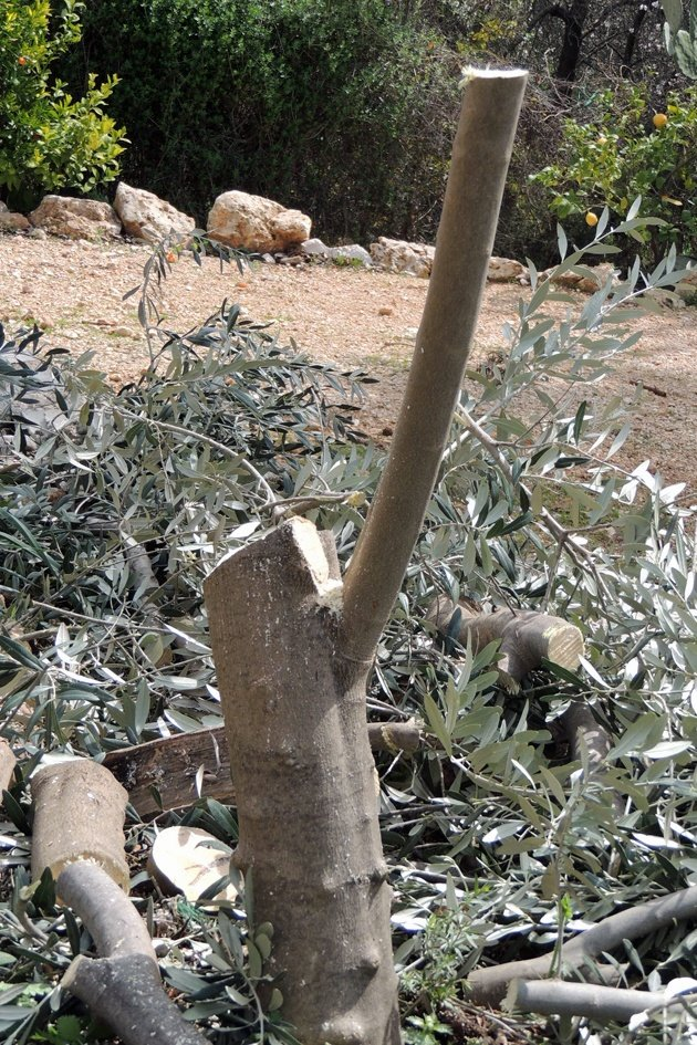 The olive tree is ready for grafting.