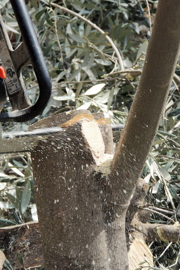 Chainsaw cutting the tree low.