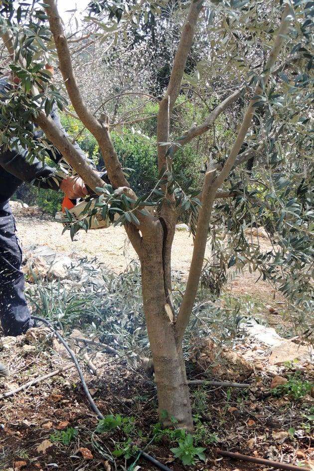 Preparing the tree for grafting.
