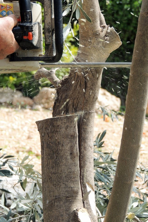 Cutting the tree before grafting.