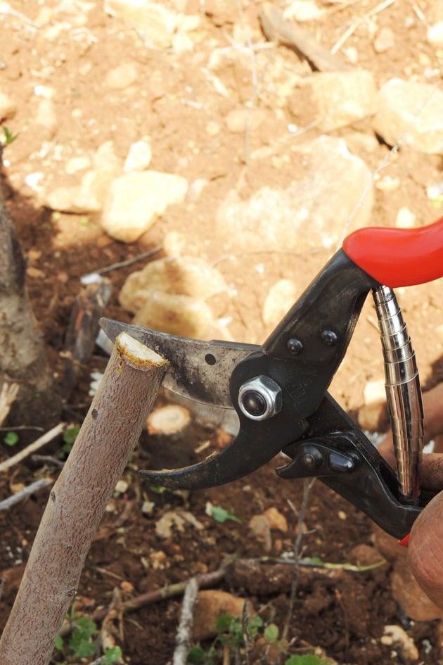 Splitting the branch in the center before grafting.