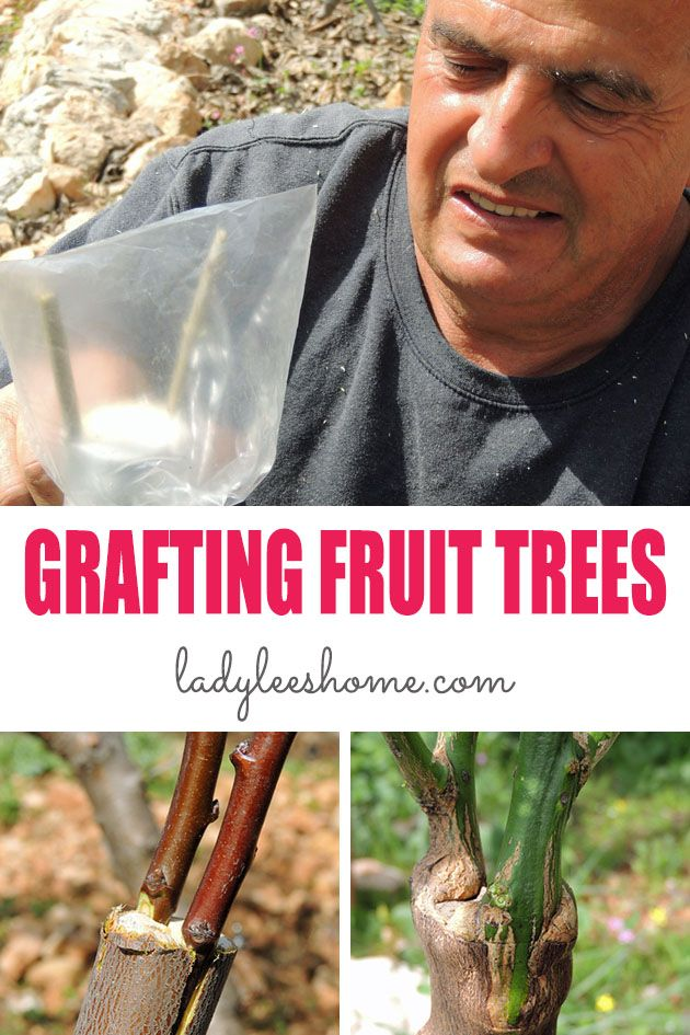 Grafting fruit trees might seem like an intimidating task that not many know how to do... This is a step by step picture tutorial on how to graft fruit trees. #grafting #graftingfruittrees #howtograftfruittrees