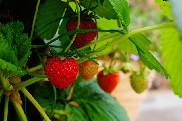 Planting strawberries is easy! Strawberries are hardy and grow fast. Everything you need to know about how to plant bare root strawberries and care for your plants.