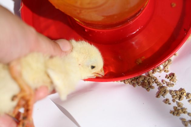 Introduce chickens to water