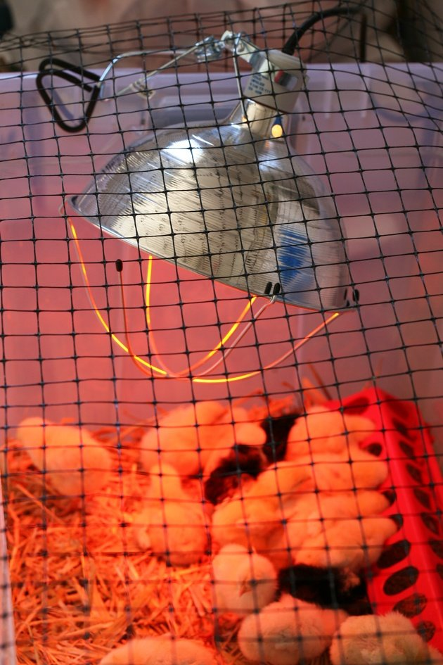Heat lamp in the chicken brooder