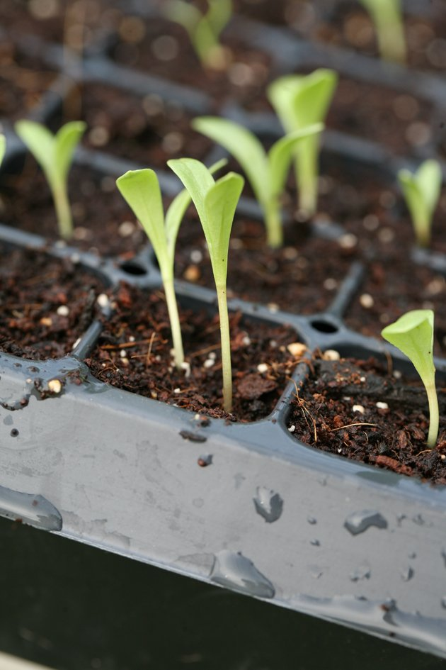 Little seedlings in a seed flat.