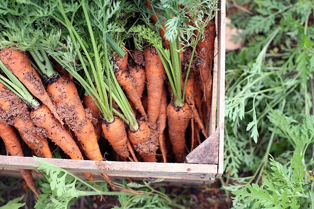 Carrots in a wooden crate. Vegetables to plant in Autumn.