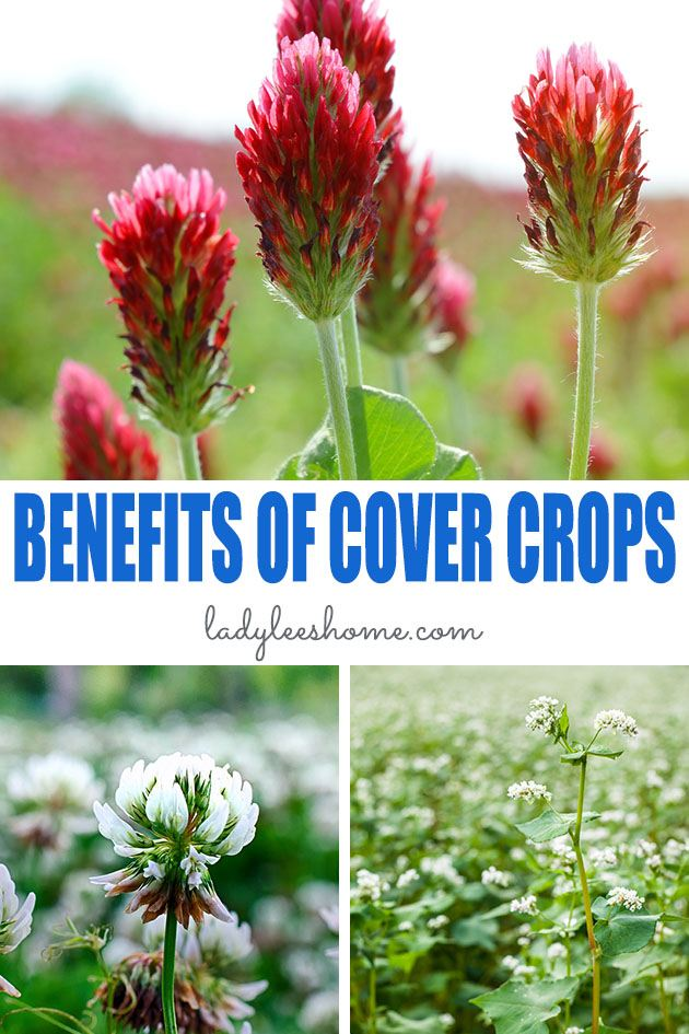 Let's go over the benefits of cover crops and learn how you can improve your soil and incorporate them in your garden no matter how big or small it is... #benefitsofcovercrops #covercropsbenefts #covercrops #greenmanurecrops
