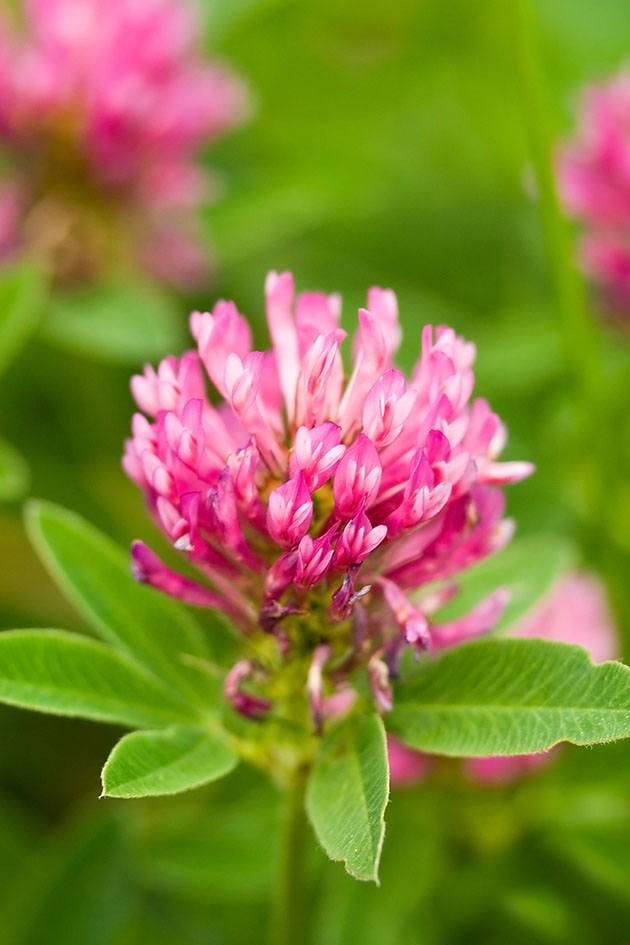 Clove flower