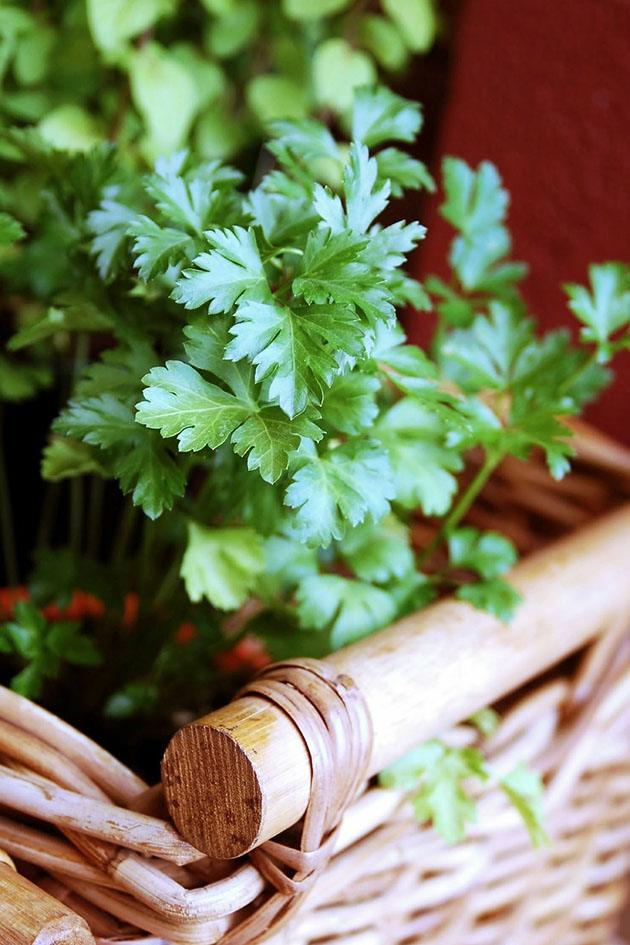 Parsley plant in a basket.