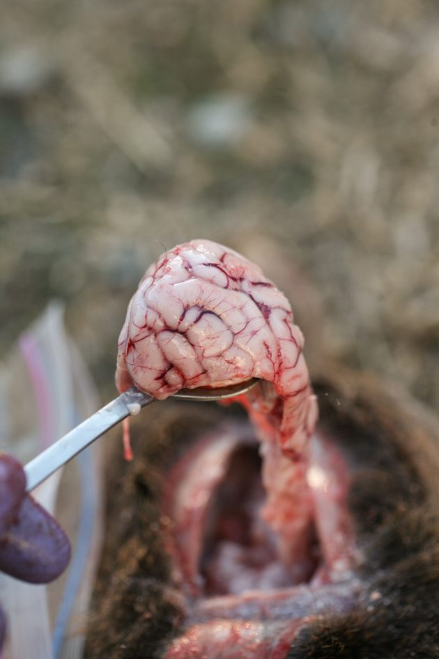 Deer brain on a spoon.