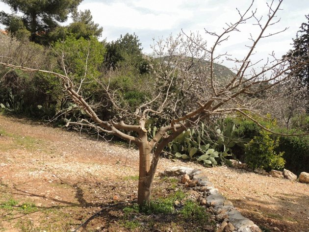 Mulberry tree after pruning.