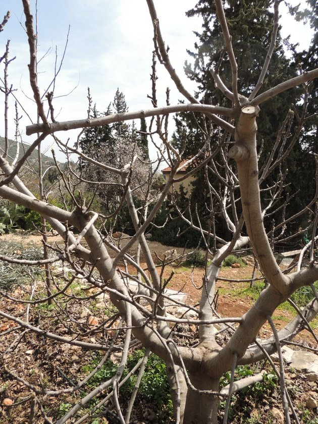 How to prune fruit trees to keep them small.