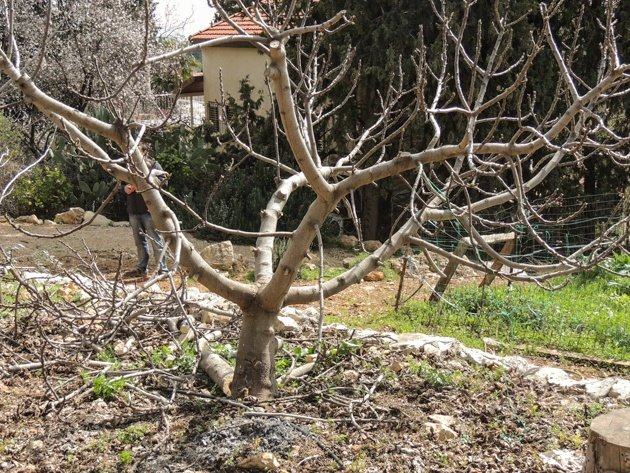 A well pruned fig tree.